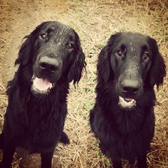 Flat Coated Retrievers ~ Classic Look & Trim