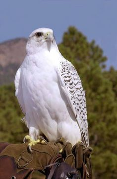 New Ideas For White Bird Raptors Birds Of Prey, Raptor Bird Of Prey, All Birds, Love Birds, Pretty Birds, Beautiful Birds, Animals Beautiful, Exotic Birds, Colorful Birds