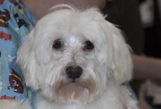 SpeciesDog BreedMaltese/Purebred Age1 year 3 months 8 days SexMale SizeSmall ColorWhite Special Needs No Small Kids SiteNational Mill Dog Rescue LocationKennel Intake Date11/5/2014 Adoption Price$250.00