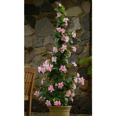 Mandevillea Summer Romance™ 'Double Pink' (Mandevillea hybrid) has double pink blooms from summer to fall