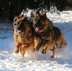 Beautiful GSDs