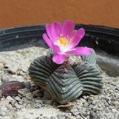 Cactus Aztekium | New Aztekium species Aztekium valdezii - Cacti & Succulents - The ...