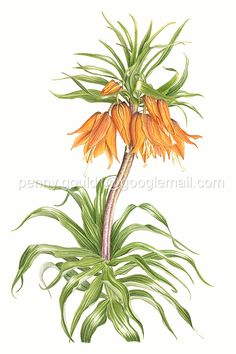 Penny Gould is a botanical artist from South Oxfordshire.