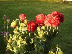 peony-poppies
