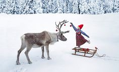 """Decorating a Reindeer for Christmas --- by the noted photographer from a new Christmas classic children's book """"The Christmas Wish"""" (story by Lori Evert, with photos by Per Breiehagen)"""