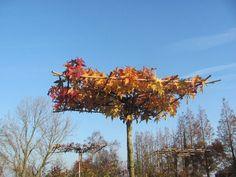Liquidambar styraciflua (Amberboom) herfstkleuren