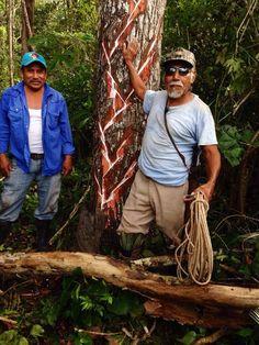 Chicleros extrayendo el látex del árbol del chicozapote