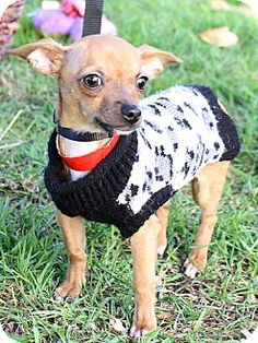 *Update*  ADOPTED Burbank, CA - Nougat is a Chihuahua mix puppy about 3 months old and 4 pounds. He is a very spirited boy who is extremely fun to watch scampering around and discovering new things! He'll be such a joy to train and play with!