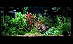 aquarium guppy | Ich würde dann (wenn die Guppys abgegeben sind) gerne noch eine ...