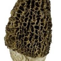 Morel mushrooms are fairly common in the spring and early summer in the United States. Morels are often found near dead trees, especially elms and can be found in woodland habitats or old orchards. The morel has a classic slim cap with webbing on the skin and can literally appear on the surface of the soil overnight. The mushroom is the fruiting...