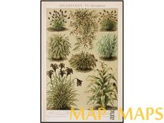 Ornamental Grasses Old Antique Print Brockhaus Encyclopedia 1892