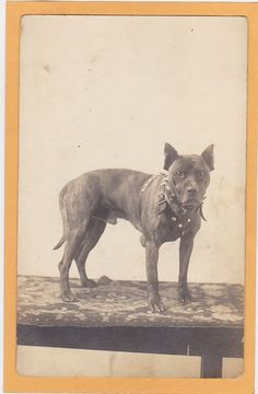 Real Photo Postcard RPPC - Pit Pitt Bull Dog