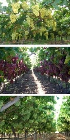 Growing Grapes - The annual life cycle of a grape vine
