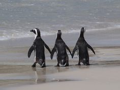 African Penguins, Boulders Beach near the Cape of Good Hope, South Africa