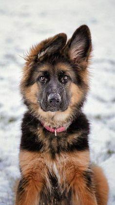GSD Puppy @KaufmannsPuppy