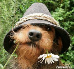 Irish Terrier, Airedale Terrier, Scottish Terrier, Terriers, Dachshund Love, Daschund, Wire Haired Dachshund, Tier Fotos, Dog Life