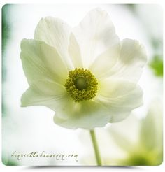 Henrietta Hassinen Anemone sylvestris