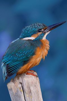 COMMON KINGFISHER (ALCEDINIDAE)  --This sparrow-sized bird has the typical short-tailed, large-headed kingfisher profile; it has blue upperparts, orange underparts and a long bill. It feeds mainly on fish, caught by diving, and has special visual adaptions to enable it to see prey under water. The glossy white eggs are laid in a nest at the end of a burrow in a riverbank.
