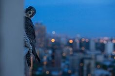 13/05/2015 Chicago is situated on major migrant flyway, so a steady stream of prey is present for the peregrines.