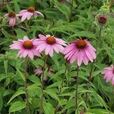 Image result for echinacea purpurea magnus
