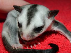 Beautiful sugar gliders | Look at her beautiful white face! :O)