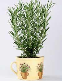 Growing Rosemary Harvesting Rosemary