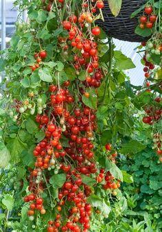 101 Gardening: The best tomato varieties to grow in baskets #Container_gardening
