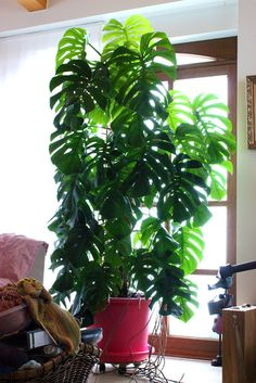 How to grow monstera deliciosa go green pinterest front rooms und and plants - Zimmerpflanze monstera ...