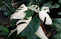 Image result for variegated monstera | plants for ...
