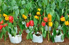 15 Secrets for Growing Perennial Flowers Bell Pepper Plant, Bell Pepper Soup, Pepper Plants, Easy Vegetables To Grow, Fruits And Vegetables, Planting Seeds, Planting Flowers, Types Of Bells, Flowers Perennials