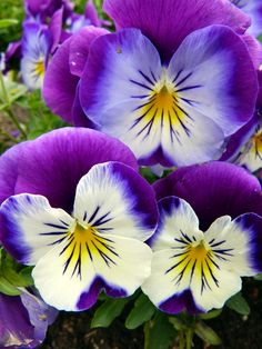 Early Spring Flowers - Walpole Outdoors  [I love pansies and all their bright saturated colors!]