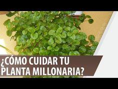 El árbol de jade, prosperidad y riqueza - YouTube Spanish, Herbs, Floral, Plants, Youtube, Gardening, China, Doors, Drinks