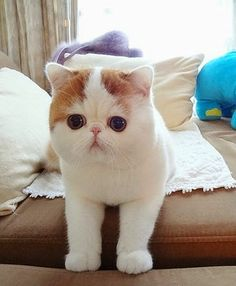 Exotic shorthair cat Names Snoopy. The Animals, Baby Animals, Kittens Cutest, Cats And Kittens, Cute Cats, Beautiful Cats, Animals Beautiful, Chat Munchkin, Snoopy Cat