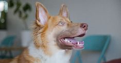 chien mauvaise haleine Goats, Corgi, Hygiene, Animales, Rat Dog, Pets, Doggies, Stuff Stuff, Corgis