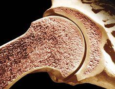 compact bone (anatomy) -- Encyclopedia Britannica