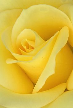 Rosa gialla Lemon Yellow, Yellow Roses, Blooming Flowers, Pretty Flowers, Love Rose, Rose Cottage, Arte Floral, Belleza Natural, Shades Of Yellow