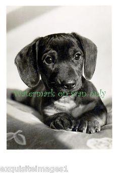 Antique Photo Cute Dachshund Puppy Dog Portrait New Large Note Cards | eBay