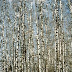love birches