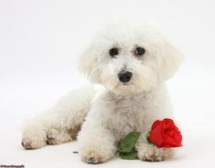 Bichon Frise with a red rose                                                                                                                                                                                 More