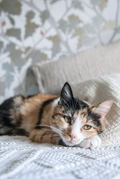 My life of saving cats and dogs while always looking for ways to save cash Cute Cats And Kittens, I Love Cats, Pretty Cats, Beautiful Cats, Crazy Cat Lady, Crazy Cats, Bobtail Japonais, Gato Calico, Calico Cats