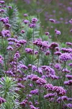 6. Verbena bonariensis - By decking