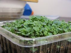 Great tutorial on how to grow micro greens indoors--with suggestions for seeds! :)