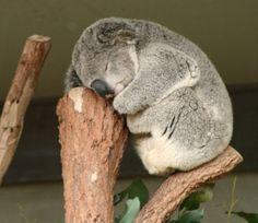 un petit Koala !