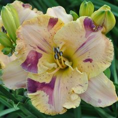 Undefinable 2015 Tet intro from Niki Harry daylilies