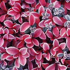 Winter Shrubs: Plant a shrub--or three--in your garden that will withstand winter's frigid temperatures   #greenhouse #gardening #saskatoon   www.floralacres.ca/