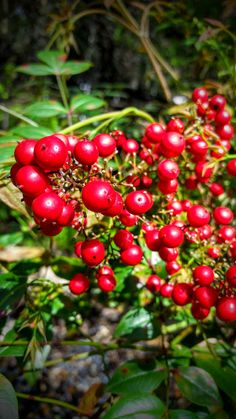 """Nandina or """"Heavenly Bamboo"""" is a lovely, fast growing shrub that can grow in sun or shade, putting on a fantastic display of bright red berries in the spring."""