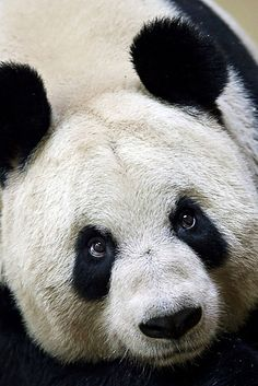 Tian Tian by sparky2000, via Flickr