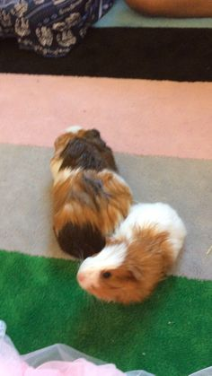 My guinea pigs r do die for