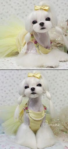 Adorable #maltese in pigtails!
