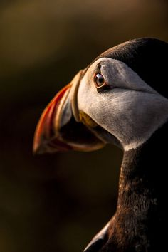 Unsure Puffin, taken at Skomer Island, Wales